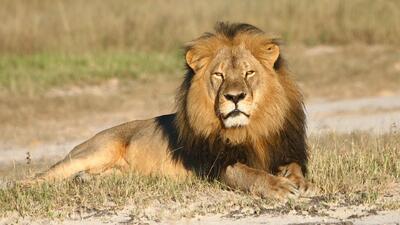 Fuerte indignación causa el asesinato de Cecil el león
