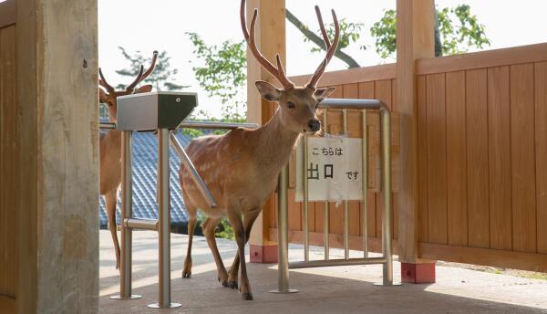 En Nara, en Japón, los renos viven libremente. La fotógraf...