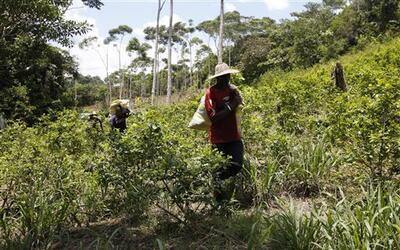 Campesinos cultivan hojas de coca en Puerto Bello, en el sur de Colombia.