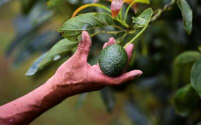 Ahead of the Super Bowl, Mexico's avocado growers say they don't fear Trump