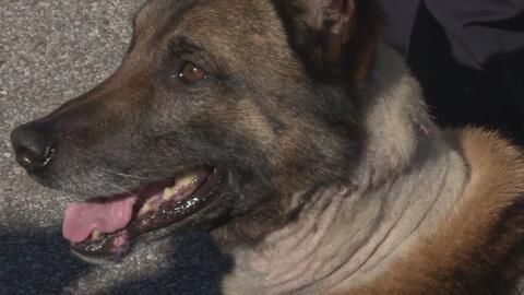 Oficial canino de Houston regresa a trabajar tras resultar herido