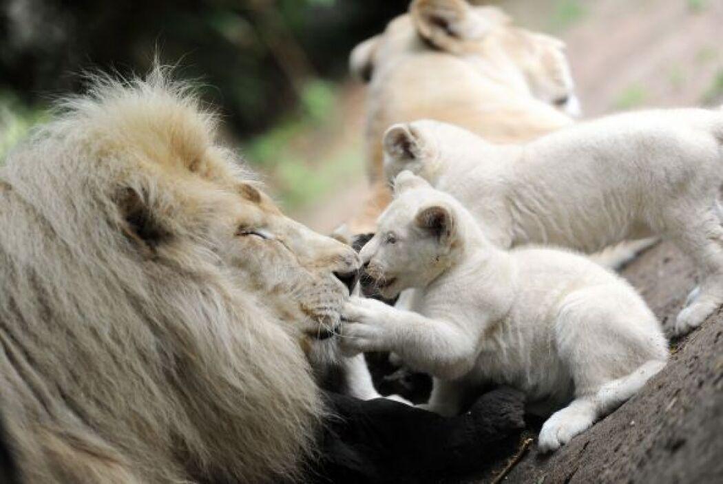 Y ni qué decir de el momento en el que el león juega con sus pequeñuelos.