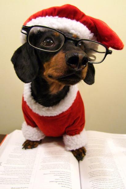Durante los últimos tres años este dachshund de cuatro a&n...