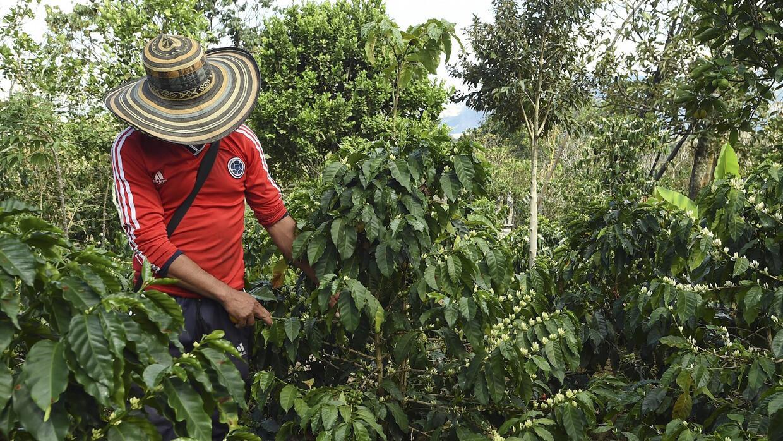 La sequía afectó a las plantaciones de café en Colombia.