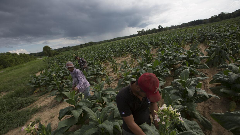 Tennessee es conocido por sus campos de tabaco, cultivados especialmente...