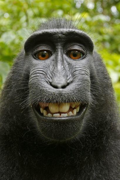 Sin duda las fotos de este macaco crestado negro le alegran el día a cua...