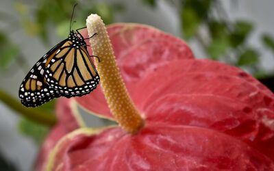 Planeta Homepage GettyImages-mariposa%20monarca%20.jpg