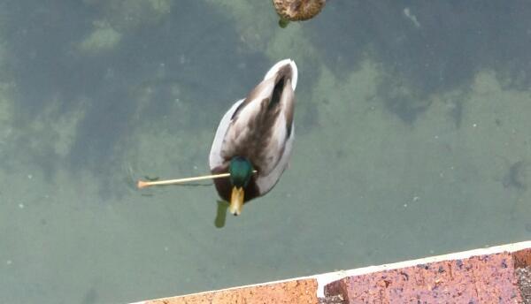 La policía tiene cuatro casos documentados: tres gaviotas y un pato