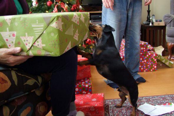 Crusoe es un perro muy consentido y esta Navidad recibirá muchos...