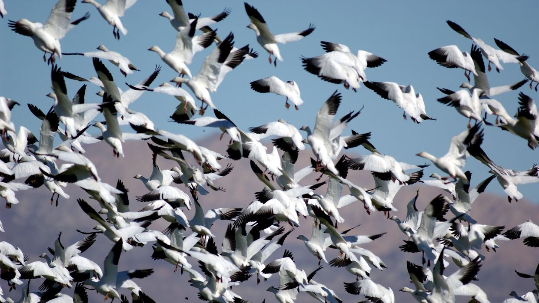 Gansos blancos volando sobre el lago Salton de California en su migració...