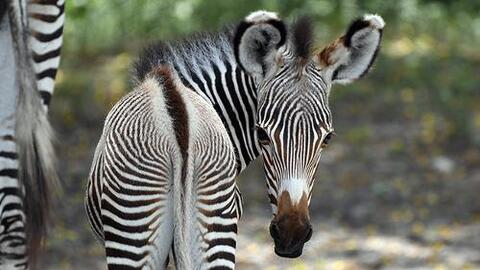 Nace en el Zoo Miami una zebra en peligro de extinción