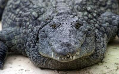 Captan en cámara impactante ataque de un cocodrilo