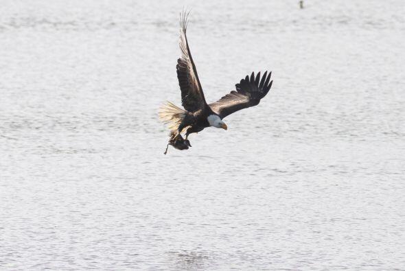 El ave se abalanzó sobre su presa que no sintió cuando &ea...