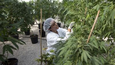 Colombia legalizará la marihuana con fines medicinales marihuana.jpg
