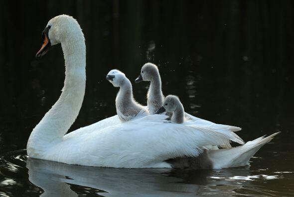 '¡Todos a bordo!', podría haber gritado el cisne a sus pequeños.