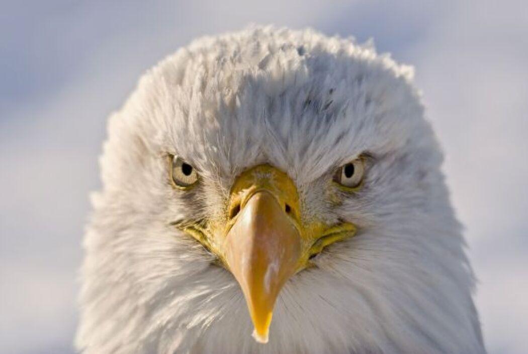 ¡A esta águila el vuelo no le causó ningún bien!