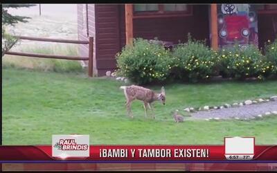 ¡Bambi y Tambor existen!