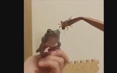 Esta rana no puede ni atrapar su cena