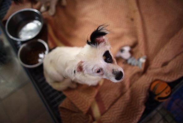 Un perro adulto que fue abandonado, previamente fue enseñado a vivir en...
