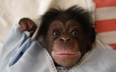 Cuba Chimp