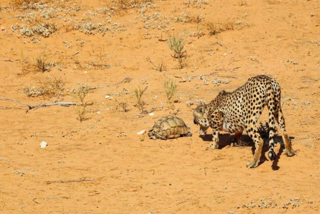 A una tortuga se le ocurrió salir a pasear mientras un grupo de guepardo...