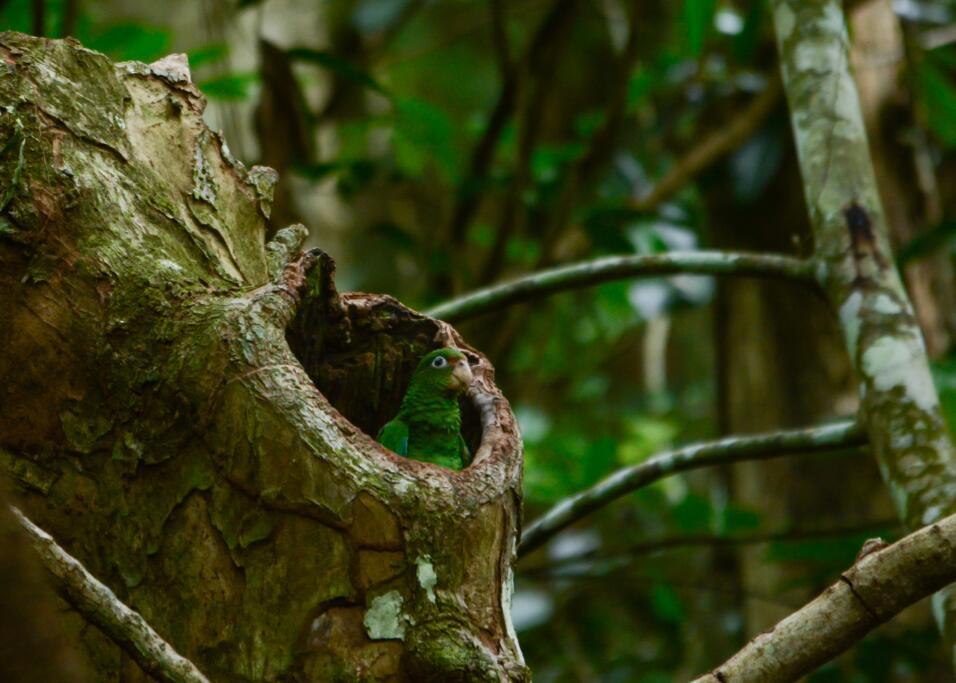 Cotorras puertorriqueñas en el Bosque Estatal de Mtaricao