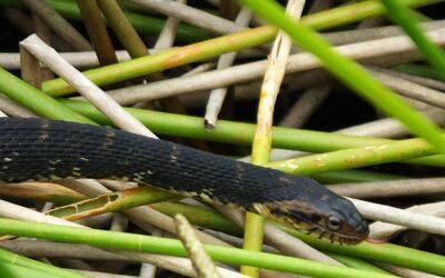Serpiente de agua de Florida.