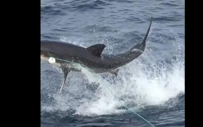 En video: el impresionante salto de un tiburón para atrapar su comida
