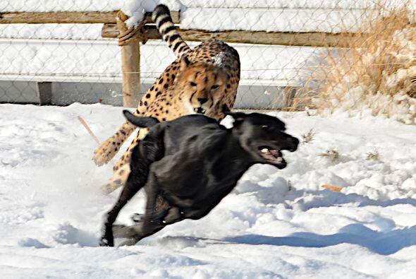 Quizás, en otro lugar del mundo, un guepardo sanguinario est&eacu...