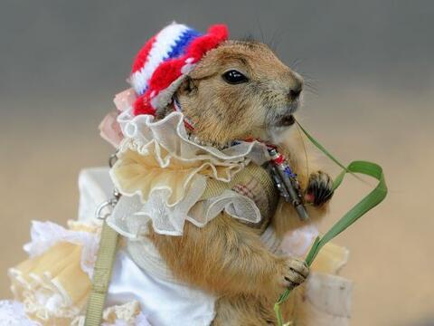 Un castor mascota propiedad de un manifestante contra el gobierno en uno...