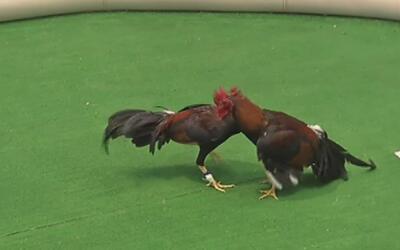 Más de cien gallos de pelea fueron encontrados por las autoridades en Fr...