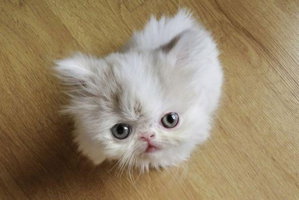 Napoleón es el nombre de este adorable minino que ha sido capturado en u...