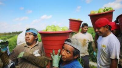 Trabajadores agrícolas cosechan tomates en un campo de Florida.