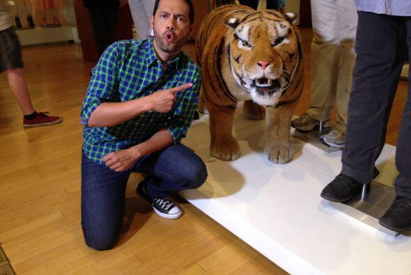 Y fotografiarte junto a la copia del tigre de 'Hangover'.