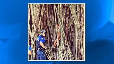 Policía de Key West rescató a mujer atrapada dentro de un árbol gigantesco.