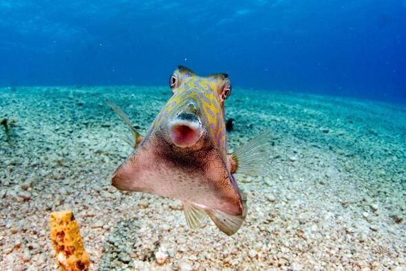 Gracias a la personalidad extrovertida de este pequeño pez de 5 pulgadas...