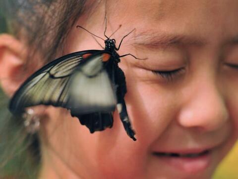 Esta mariposa, muy amistosa, se posa en la cara de una niña, durante una...