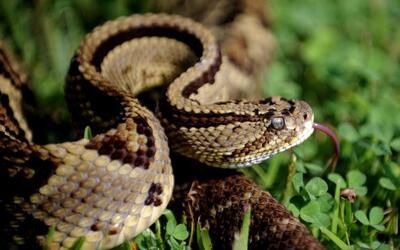 Imagen de archivo de una serpiente de cascabel.