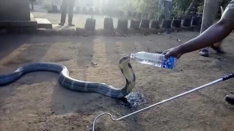 El increíble momento en que una cobra sedienta acepta agua de un hombre