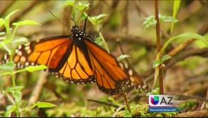 Espectáculo de mariposas monarcas en Michoacán