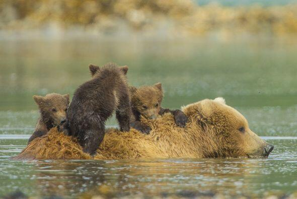 Un trío de ositos decidieron que la espalda de su madre era excelente pa...