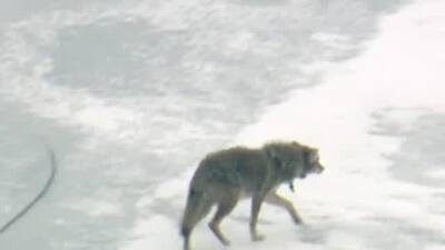 """Coyote """"de paseo"""" por el congelado Lago Michigan"""