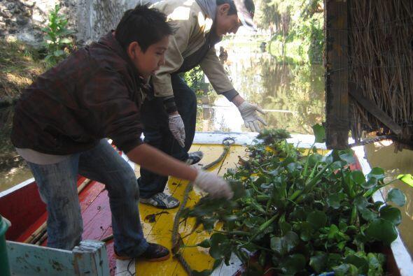 El lirio acuático o Eichhornia, su nombre científico, es u...
