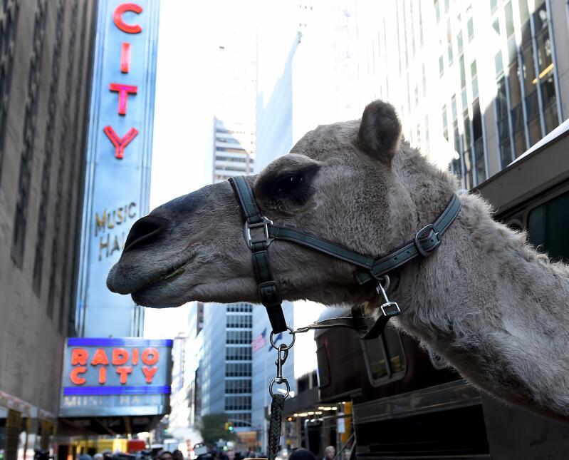 Desde tempranas horas del martes dio inicio el inusual desfile de camell...
