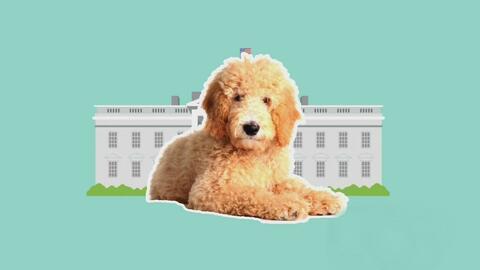 Un Goldendoodle, la mascota que acompañaría a los Trump en la Casa Blanca