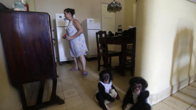 En video: Criar chimpancés en Cuba, una tremenda tarea para una mujer de...