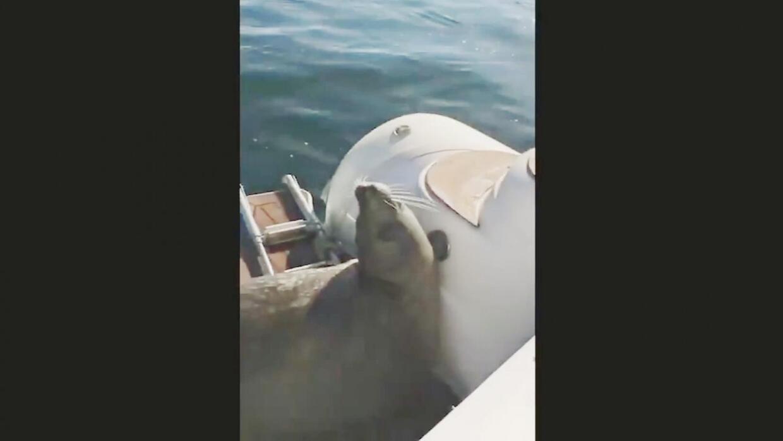 Cuando los humanos se interponen en la cadena alimenticia entre una orca...