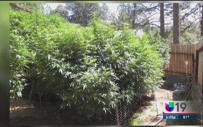 Hallan plantío de marihuana en El Dorado