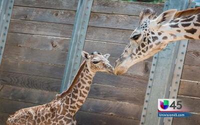 Nació una jirafa en el Zoológico de Houston