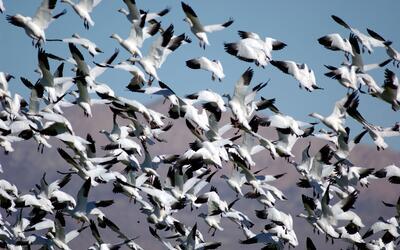 Gansos blancos volando sobre el lago Salton de California en su migraci&...